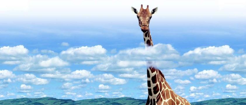 broadbamd giraffe